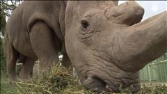 Sauver le rhinocéros blanc avec Tinder?