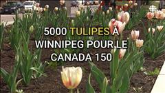5 000 tulipes à Winnipeg pour Canada 150