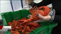 Le prix du homard surprend plusieurs consommateurs