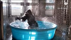 La danse du gorille