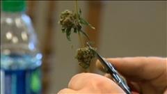 Consultations sur le cannabis