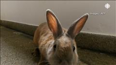 Des lapins pour contrer la faim au Venezuela