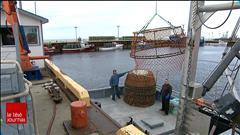Le crabe des neiges conserve sa certification environnementale malgré la mort de 11 baleines noires