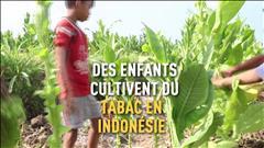 Des milliers d'enfants cultivent du tabac en Indonésie