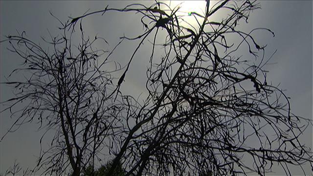 Winnipeg veut lutter contre la maladie du nodule noir qui s'attaque aux cerisiers