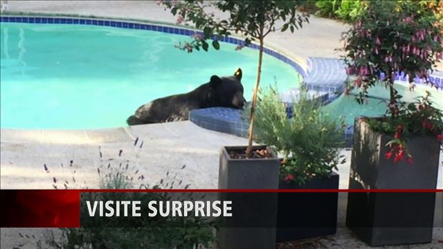 Visite surprise d'un ours noir