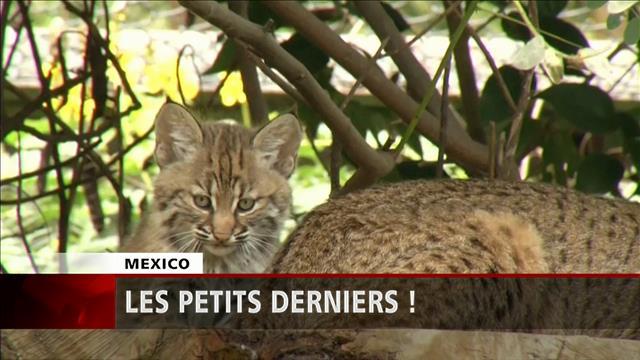 Triplés de lynx au zoo de Mexico