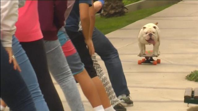 Un chien bat un record sur son skateboard