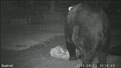 L'ours qui fait trembler Sherbrooke