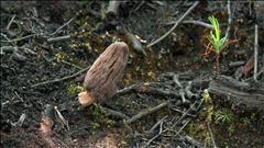 Le champignon qui pourrait faire du Nord le Klondike québécois