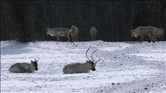 Compter les caribous au zoo