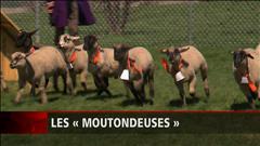 Remplacer les tondeuses par des moutons