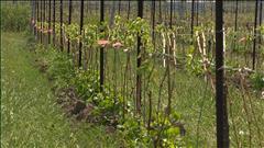 Dur hiver pour les viticulteurs