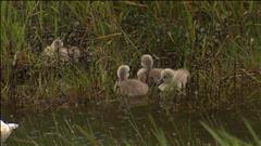 Des cygnes déjouent le conseil municipal de Saint-Jean