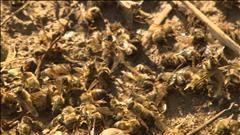 Des apiculteurs dénoncent les néonicotinoïdes