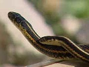 Les couleuvres rayées de Narcisse (Thamnophis) 20050414serpent_g