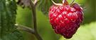 Des idées pour apprêter des petits fruits