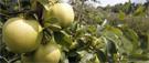 Un laboratoire de la pomme sur l'île d'Orléans