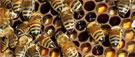 Pratiquer l'apiculture urbaine à l'université