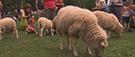 Des moutons en transhumance dans les rues de Montréal