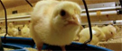 McDonald's : du poulet sans antibiotiques