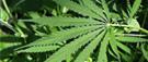 Cannabis : attendre au moins 6 heures avant de prendre le volant